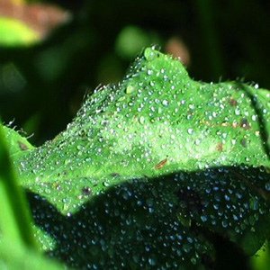 #24 Morning Dew